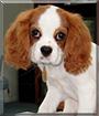 Maxie Mo the Cavalier King Charles Spaniel