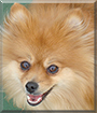 Nikki the Pomeranian