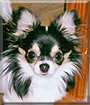 Doodlebug the Longhair Chihuahua
