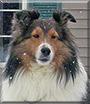 KayLee the Shetland Sheepdog