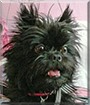 Jade the Affenpinscher