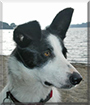 Glaid the Border Collie
