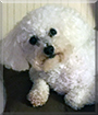 Bebe the Bichon Frise