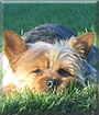 Charlie the Yorkshire Terrier