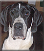 Riley the Great Dane