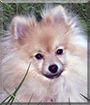 Maxfield the Pomeranian