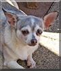 Bella Luna the Chihuahua