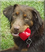 Darby the Labrador, German Long-haired Pointer mix