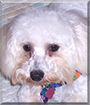 Ellie May the Bichon Frise