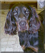 Nestlé the Gordon Setter
