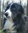 Logan the Border Collie