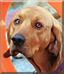 Clare the Redbone Coonhound