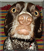 Henry the German Short Haired Pointer
