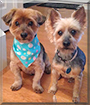 Teddy and Teah the Yorkshire Terriers