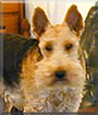 Emma the Welsh Terrier