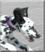 Jack the Dalmatian