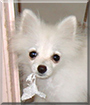 Jasmine the Pomeranian