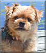 Noah the Yorkshire Terrier, Pomeranian mix