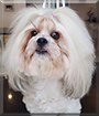 Dollar the Bichon Frise, Shih Tzu mix