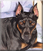 Bubba the German Pinscher