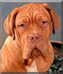 Arnold the Dogue de Bordeaux
