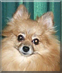 Peanut the Pomeranian