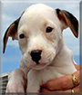 Thor the Pit Bull Terrier/American Bulldog mix