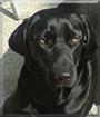 Ronja the Labrador Retriever