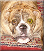 Duke the English Bulldog