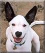 Roscoe the Bull Terrier Mix