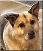 Wyatt the Husky, German Shepherd, Labrador mix