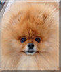 Stanley the Pomeranian