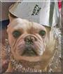 Baggz the French Bulldog