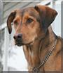 Mocha the Bloodhound mix