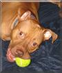 Teddy the Pitbull Terrier