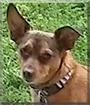 Sy-mon the Chihuahua, Dachshund mix