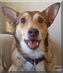 Xander the Shetland Sheepdog, Australian Cattledog mix