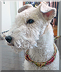 Nicky the Wire-Haired Fox Terrier