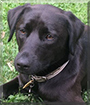 Sasha the Labrador/Terrier mix