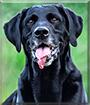 Max the Labrador Retriever, Pointer mix