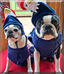 Stormie and Boomer the Boston Terriers