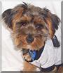 Hootie the Yorkshire Terrier
