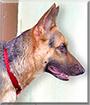 Buddy the German Shepherd Dog