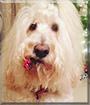 Rocco the Labrador Retriever, Standard Poodle mix