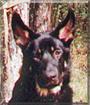 Baron the German Shepherd Dog