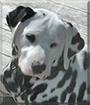 Lou Dog the Dalmatian