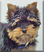 Cody the Yorkshire Terrier
