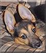 Rainy the German Shephard Dog