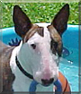 Bug the Bull Terrier