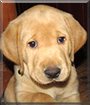 Finley the Labrador Retriever